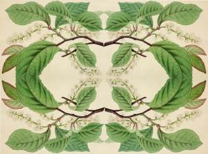 blackwellia padiflora